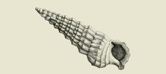 Grazer And Detritus Feeder. Original Taxon: Murex Alucaster. 65mm,  Porto Vecchio, SE. Corsica.